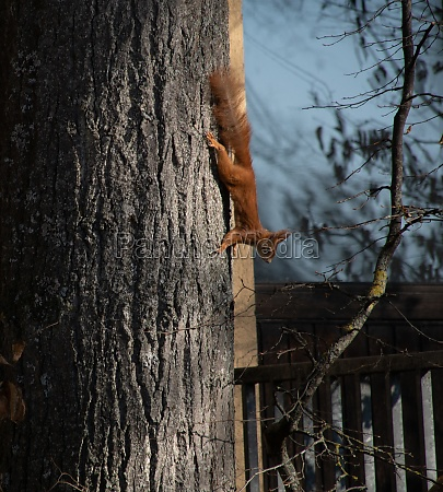 eurasian red squirrel on tree