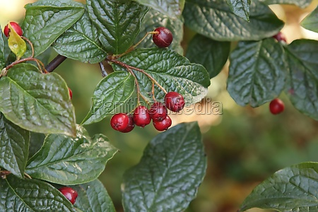 red fruits of the cotoneaster bush