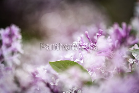 common lilac blossom dreamy flowers with