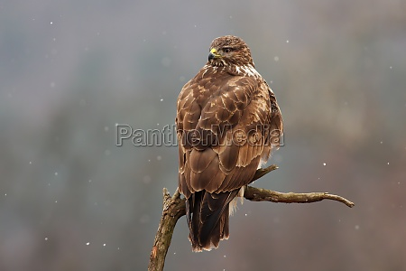 majestic common buzzard sitting on branch