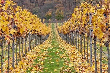 autumn vineyards near retz lower austria