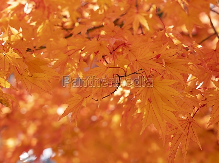 japanese red leaves on the entire