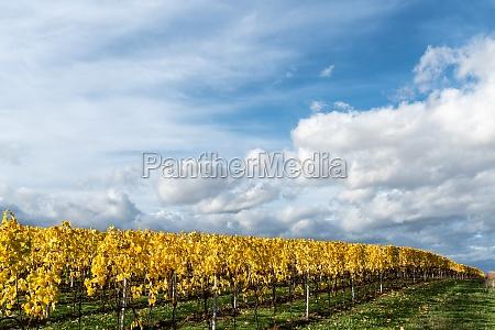 autumn colours in vineyards in rheinhessen
