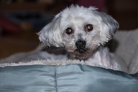 dog with cataract eye disease