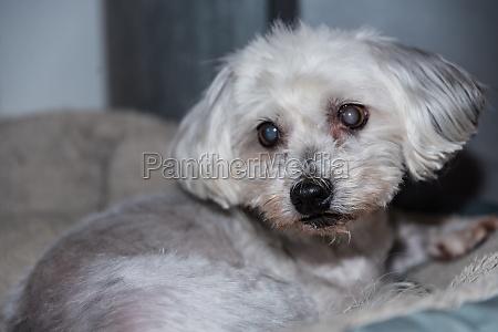 cataract dog havanese