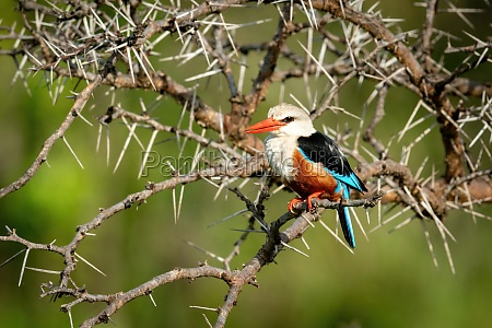 grey headed kingfisher with catchlight and