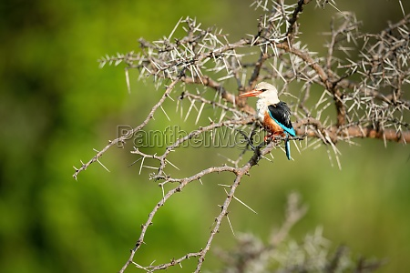 grey headed kingfisher in thornbush with
