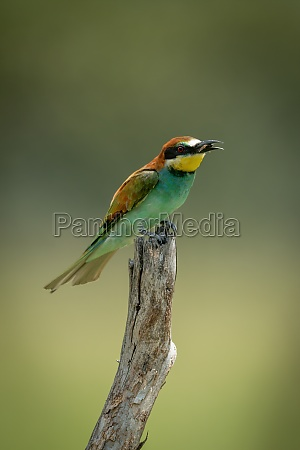 european bee eater on tree stump