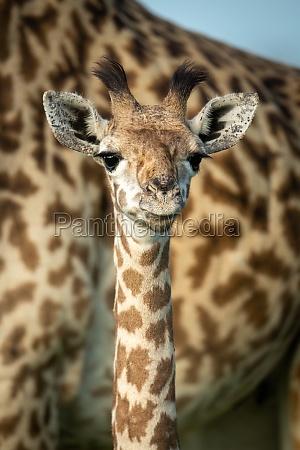 close up of young masai giraffe