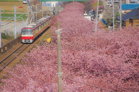 kawazu cherry tree and keikyu line