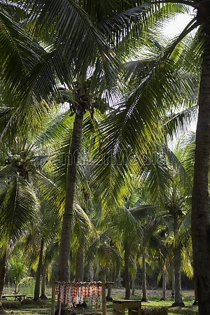 summer field of coconut palm