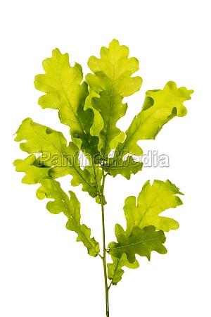 oak branch on white background