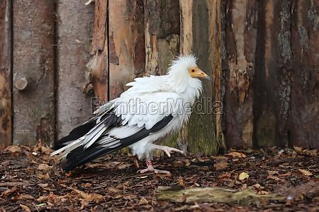 white vulture walking through the zoos