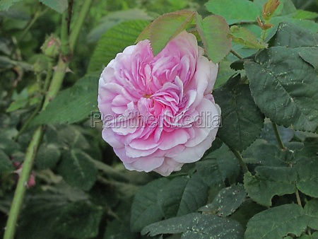 pink rose in green leaves
