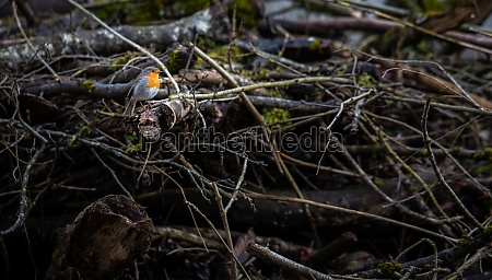 the european robin erithacus rubecula known