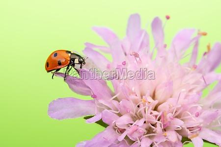 ladybird sits on purple flower