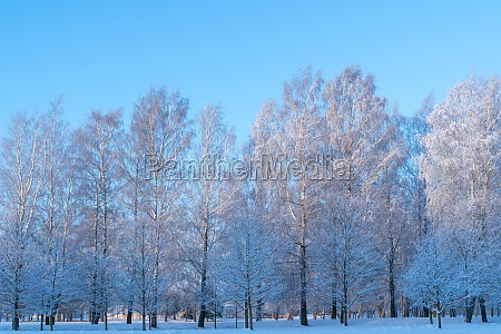winter landscape of frosty trees