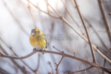colorful bird siskin sitting on a