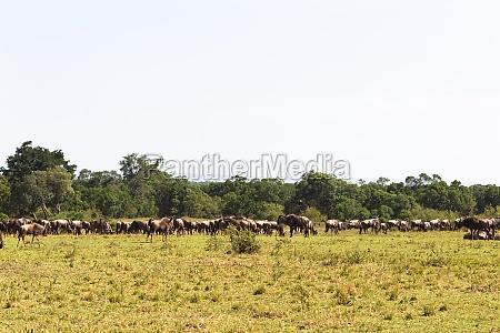 herd of wildebeest in begin of