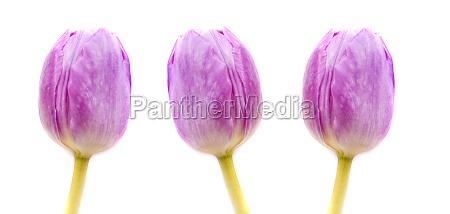 pink tulips in closeup