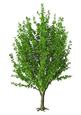 3d illustration chestnut tree on white