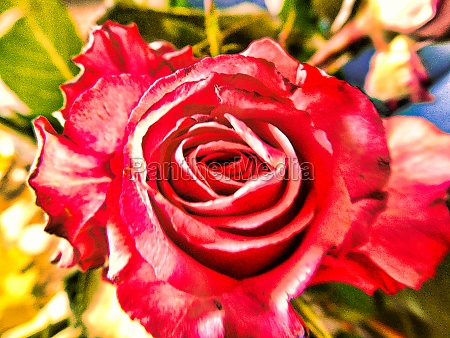 the red bloom of a rose