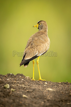 wattled plover on earth bank turning