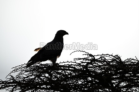 silhouette of tawny eagle perched on