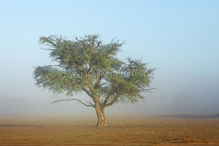 tree in mist kalahari desert