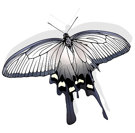 chinese windmill butterfly