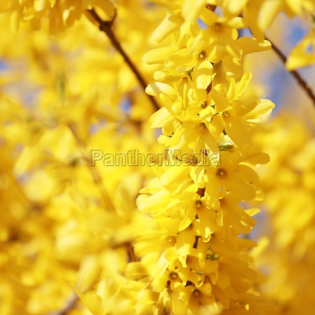 spring background with yellow flowers