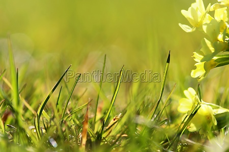 spring background with grasses and primroses