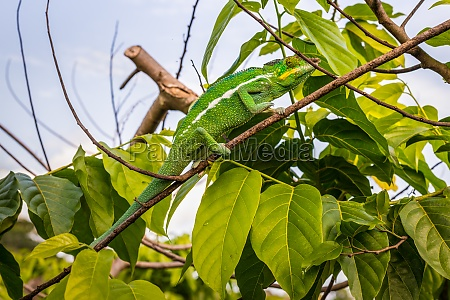 chameleon on tree branches