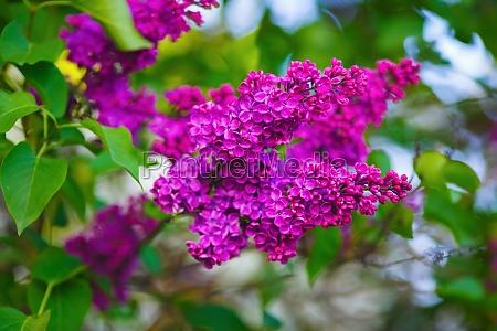 blooming lilac bush
