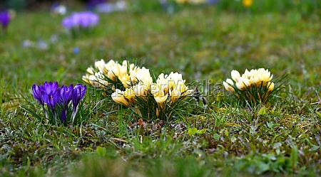 numerous blooming crocuses in different colors