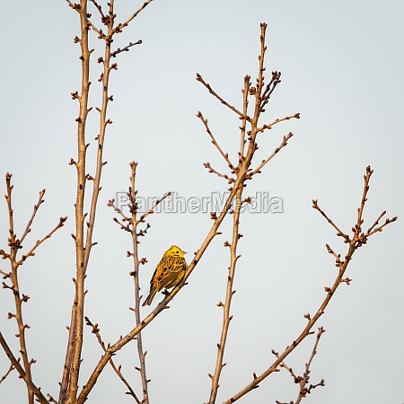 yellowhammer on a twig
