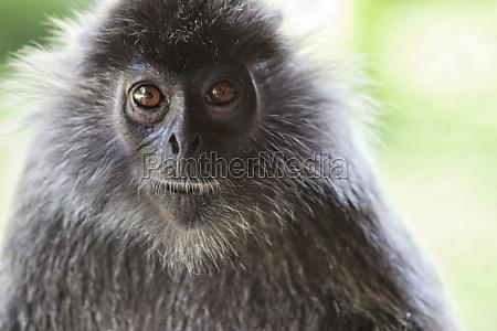 black and white surili monkey in