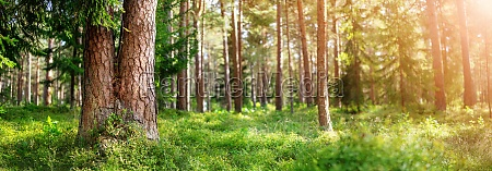 beautiful pine forest panorama in the