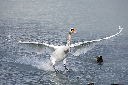 a swan landing on the water