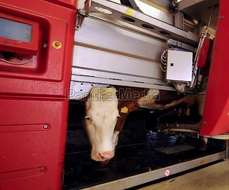 milking robot on a dairy farm