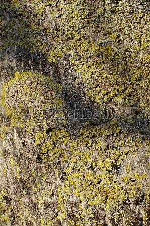 bark of a walnut tree bielefeld