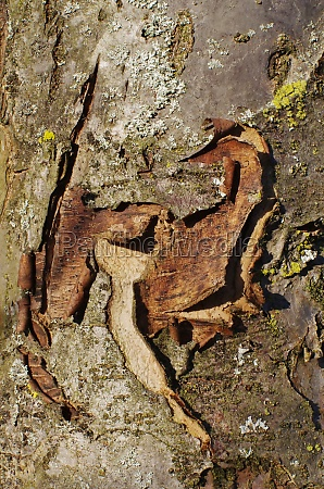 bark of an apple tree bielefeld