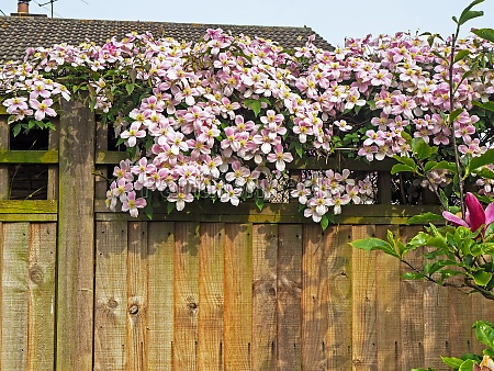 lovely pink clematis flowers on a