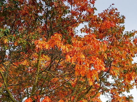 orange autumn foliage on an oak