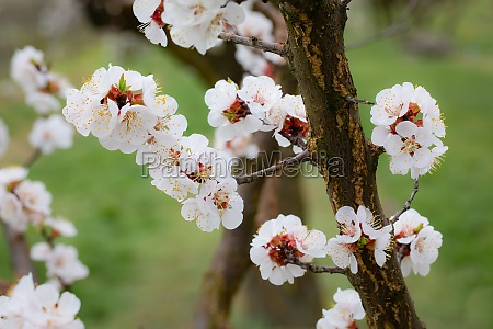 flowering apricot tree blossom in early