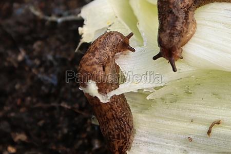 slugs feeding on vegetation in the