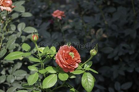 beautiful rose garden in summer