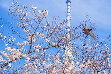 sky tree and a cherry tree
