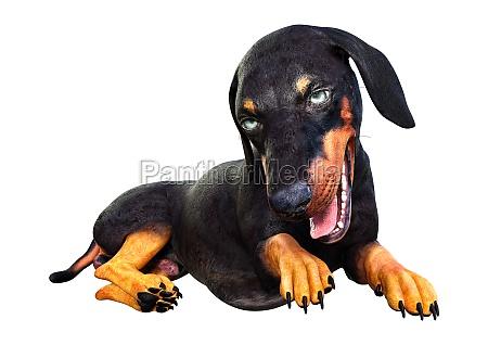 3d rendering dachshund on white