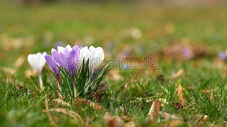 blooming crocuses on a meadow in